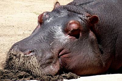 Photograph - Muddy-faced Hippo by Marilyn Burton