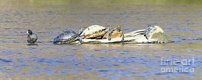 Photograph - Muddy Turtles And A Coot by Carol Groenen