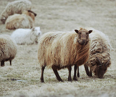 Sheep Mixed Media - Muddy Waters by Trish Tritz
