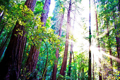 Photograph - Muir Redwoods by John McGraw