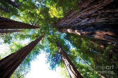Mill Valley Photograph - Muir Woods Redwood Trees 6 by Mel Ashar
