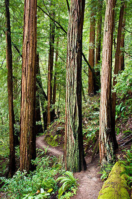 Sausalito Photograph - Muir Woods by Niels Nielsen
