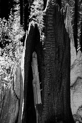 Photograph - 'muir Woods Redwood Fire Sculpture Black And White by Anne Barkley