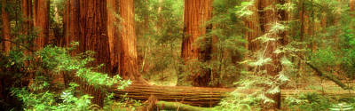 Muir Woods, Trees, National Park Art Print by Panoramic Images