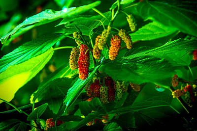 Photograph - Mulberries - Fruit - Berries by Barry Jones