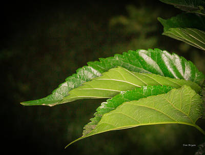 Photograph - Mulberry Leaves by Tim Bryan