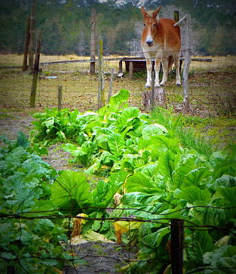 Photograph - Mule And Greens 1 by Sheri McLeroy