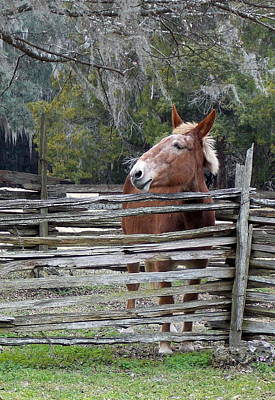 Photograph - Mule Behind Split Rail Fence by Sheri McLeroy