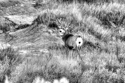 Art Print featuring the photograph Mule Buck B/w by Kevin Bone