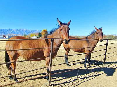 Photograph - Mule Curiosity by Marilyn Diaz