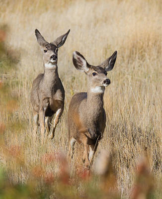 Photograph - Mule Deer  by Angie Vogel