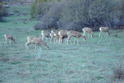 Photograph - Mule Deer At Evening by Susan Woodward