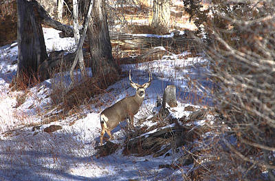 Photograph - Mule Deer Buck by Floyd Tillery