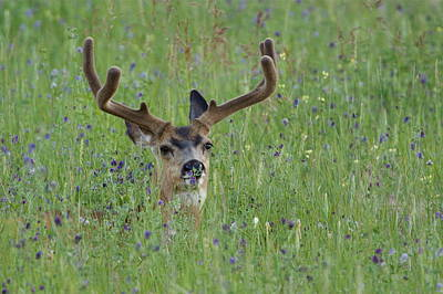 Mule Deer Buck In Wildflower Meadow Art Print
