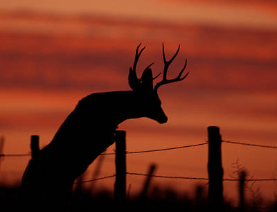 Mule Deer Buck Photograph - Mule Deer Buck Jumping Fence At Sunset by Gary Langley