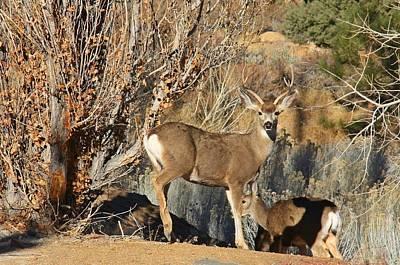 Mule Deer Buck Art Print by Sheila Savage