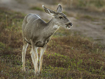 Photograph - Mule Deer Chowing Down by Jean Noren