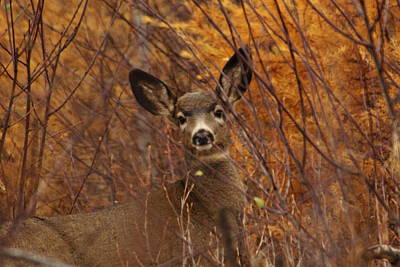 Mule Deer Doe Art Print