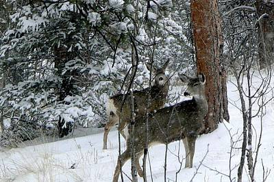 Photograph - Mule Deer Does In A Snowfall by Marilyn Burton