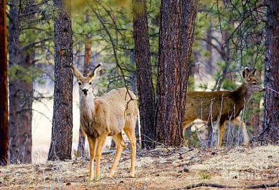Mule Deer Herd Photograph - Mule Deer Does by Steve Krull