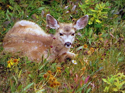 Photograph - Mule Deer Fawn by Karen Shackles