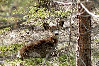 Photograph - Mule Deer Fawn - Laying Down by Marilyn Burton
