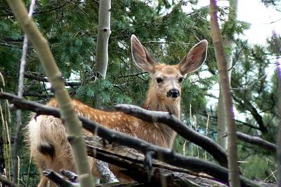 Photograph - Mule Deer Fawn by Marilyn Burton