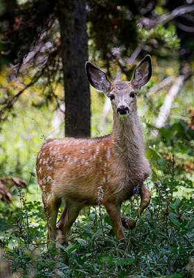 Photograph - Mule Deer Fawn by Michael Chatt