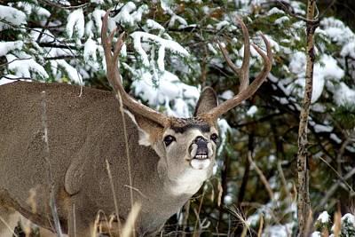 Photograph - Mule Deer - Flehmen Response by Marilyn Burton