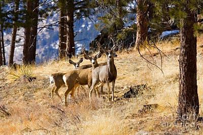 Steven Krull Royalty-Free and Rights-Managed Images - Mule Deer Herd by Steven Krull