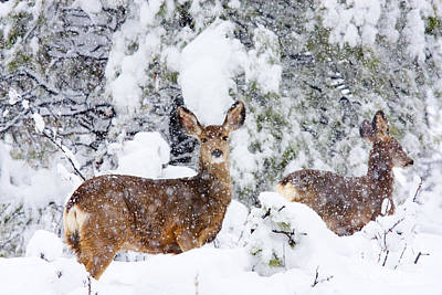 Steven Krull Royalty-Free and Rights-Managed Images - Mule Deer in a Snowstorm by Steven Krull