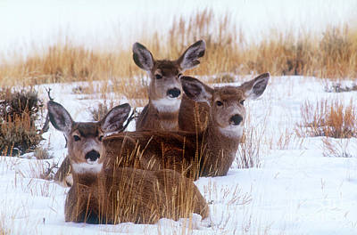 Photograph - Mule Deer In Snow by Art Wolfe