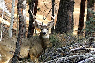 Photograph - Mule Deer In The Forest by Marilyn Burton