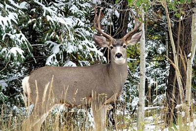 Photograph - Mule Deer In The Snow by Marilyn Burton
