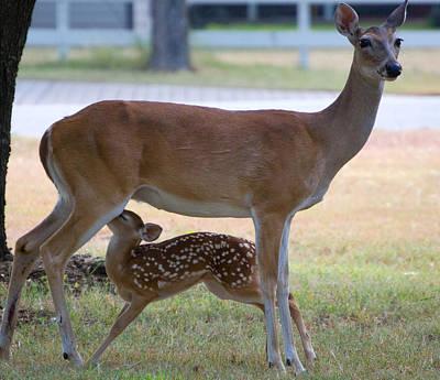 Nursing Deer Photograph - Mule Deer Nursing by Roy Williams