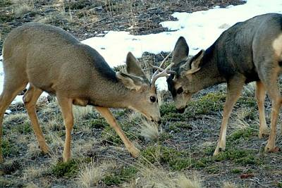 Photograph - Mule Deer - Play Fighting by Marilyn Burton