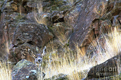 Mule Deer Taking A Look Art Print by Art Wolfe