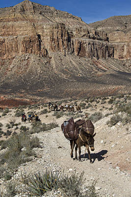 Photograph - Mule Pack Train, Grand Canyon by Mark Newman