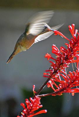 Photograph - Mulege Hummingbird 1 by Jeff Brunton