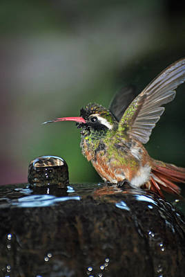 Photograph - Mulege Hummingbird 14 by Jeff Brunton