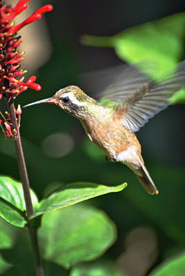 Photograph - Mulege Hummingbird 9 by Jeff Brunton