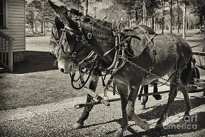 Photograph - Mules In Harness by Russell Christie