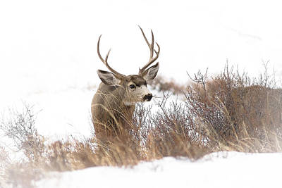 Animals And Earth Photograph - Muley by Garett Gabriel
