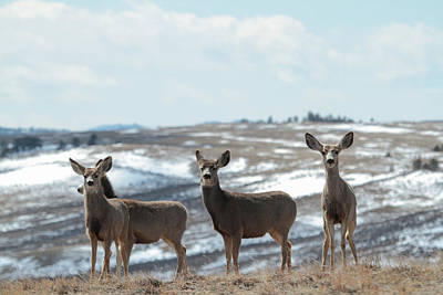 Photograph - Mulies On A Mission by Angelique Rea