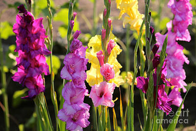 Photograph - Multi Colored Gladiolus by Carol Groenen