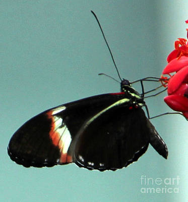 Photograph - Multicolor Trim Black Butterfly by Bill Woodstock