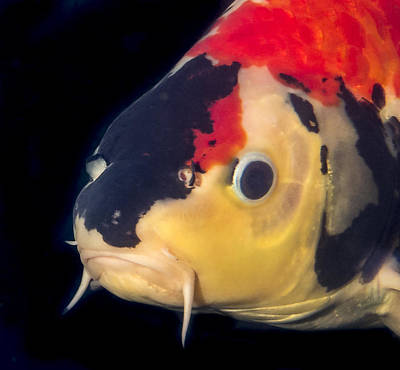 Photograph - Multicolored Koi Close Up Portrait by Jean Noren