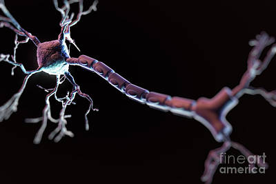 Photograph - Multipolar Neuron by Science Picture Co