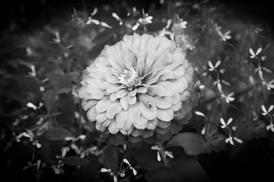 Photograph - Giant Zinnia Elegans Bw by Rich Franco