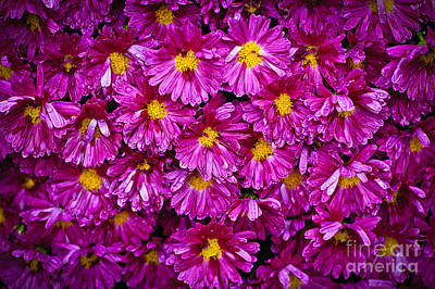 Chrysanthemum Photograph - Mums by Elena Elisseeva